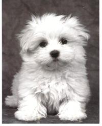 Vous ne savez pas quelle race choisir pour votre chien? 200px-maltais